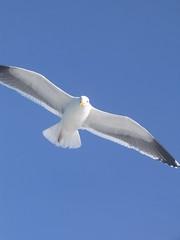 hungry, hopefull sea gull