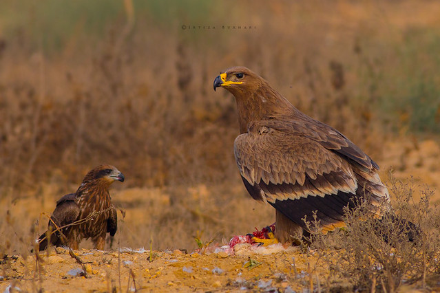 Steppe eagle (Aquila nipalensis) with breakfast prey