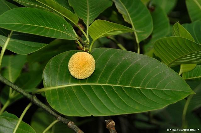 Neolamarckia Cadamba - Burrflower Tree,Leichhardt Pine