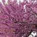 Cercis Siliquastrum,Judas tree,כליל ה חורש
