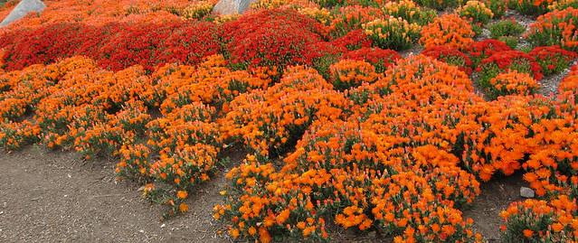 Orange, Ice Plant