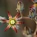 Graptopetalum rusbyi by aspidoscelis