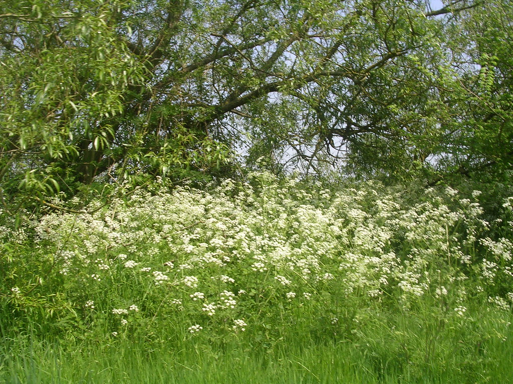 Cow Parsley Marlow Circular
