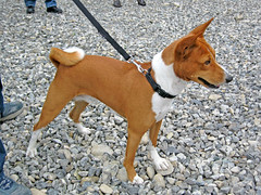 dog breed(1.0), animal(1.0), dog(1.0), american foxhound(1.0), pet(1.0), russell terrier(1.0), carnivoran(1.0), basenji(1.0), terrier(1.0),