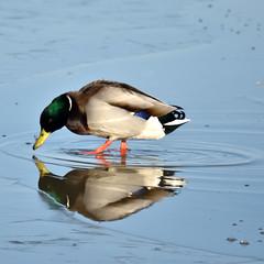 Mallard Reflects...
