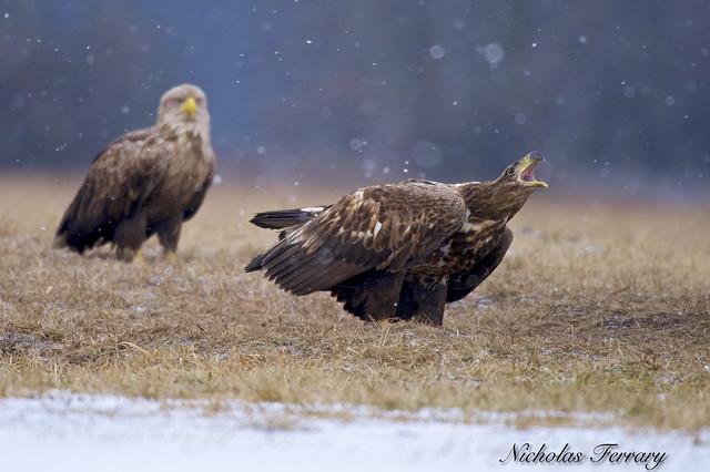 White - Tailed Eagles