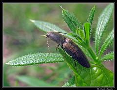 Taupin (Cidnopus pilosus) - Photo of Cintheaux