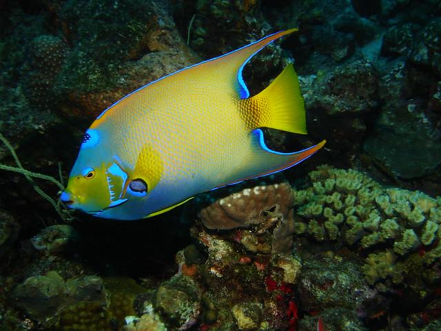 Queen angelfish flickr photo sharing for Queen angel fish