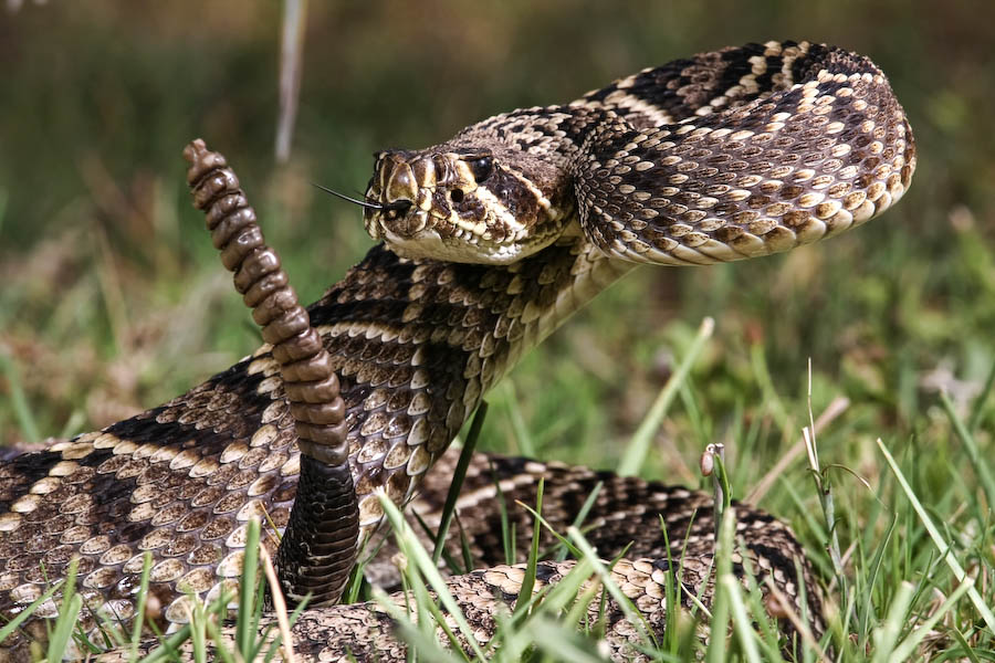 Rattlesnake Striking Wallpaper