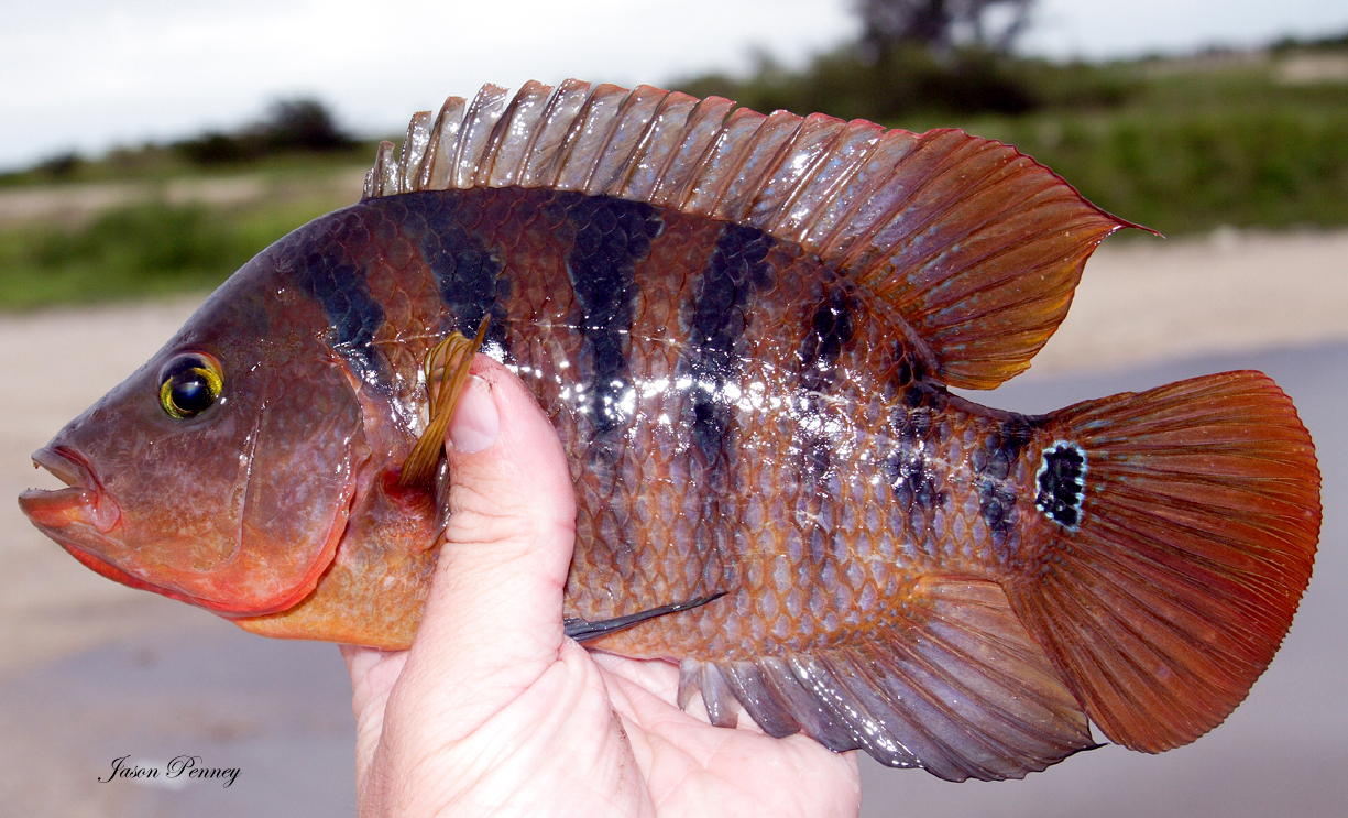 Most colorful panfish pictures bluegill sunfish for Fish of florida