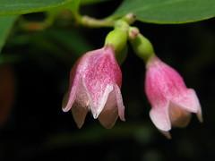 Symphoricarpos albus * florecitas