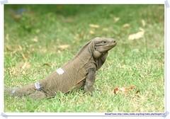 20041020_Guana@BVI_Rock Iguana_009_A