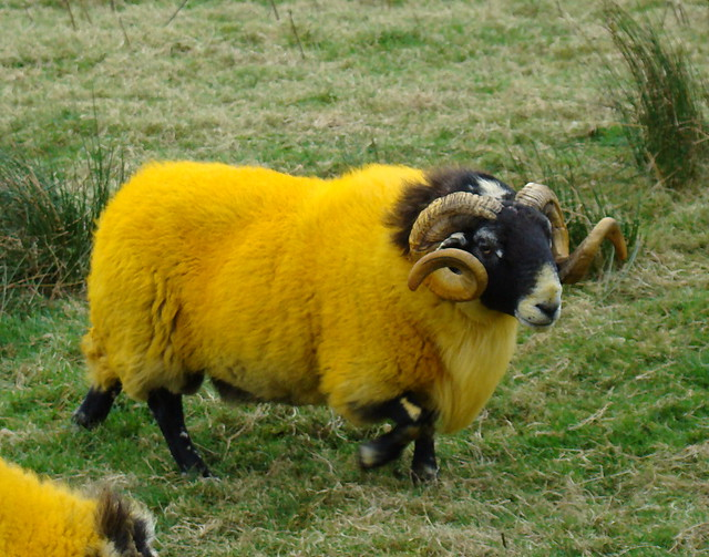 Can anyone explain fluorescent yellow sheep to me?