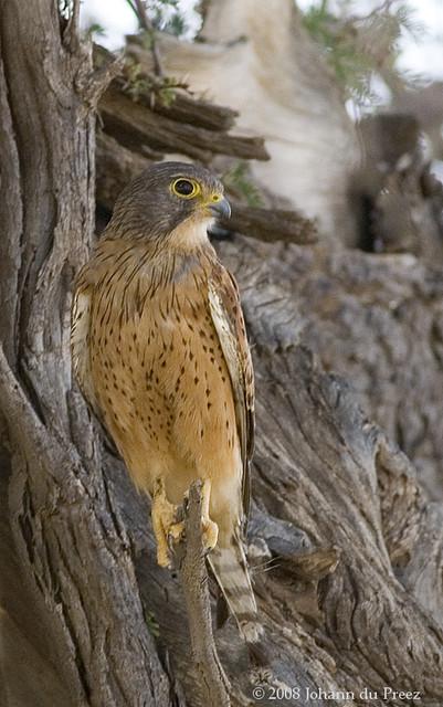 Falconiformes. sub Falconidae - sub fam Falconinae - gênero Falco - Página 2 2290787847_53cc417bd9_z