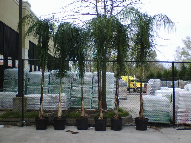 Queen palms maybe at mechanicsville home depot flickr Home depot palm beach gardens