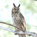 Long-eared Owl - Photo (c) Jerry Oldenettel, some rights reserved (CC BY-NC-SA)