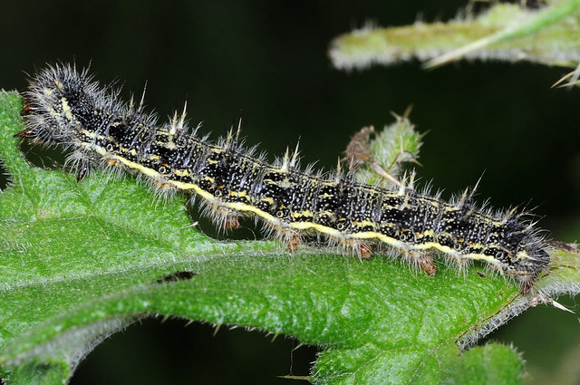 painted lady butterfly caterpillar - photo #4