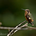 Purple-throated Woodstar (Calliphlox mitchellii) female