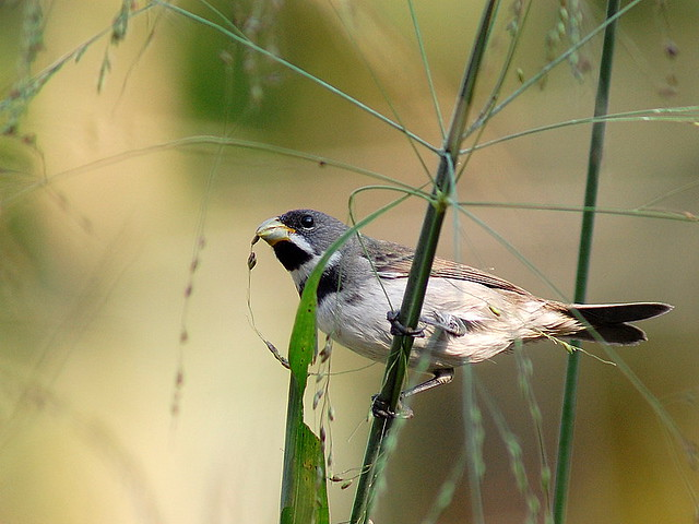 Double-collared Seedeater by Dario Sanches
