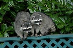 animal, raccoon, mustelidae, mammal, fauna, procyon,