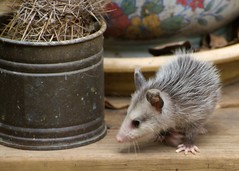 animal, rat, mouse, mammal, muroidea, whiskers,