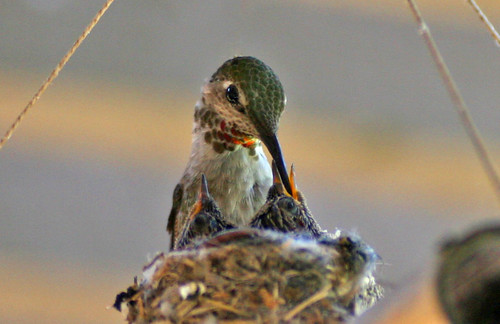 Hummingbird feeding babies