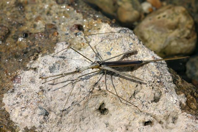 Brown Water Scorpion Ranatra Fusca Flickr Photo Sharing