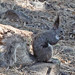 Abert's Squirrel - Photo (c) Jerry Oldenettel, some rights reserved (CC BY-NC-SA)