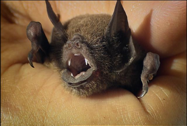 Ghost-faced bat, 2007 | Flickr - Photo Sharing!