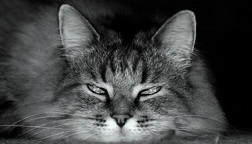blackandwhite bw cute monochrome cat geotagged blackwhite feline 10 5 nick pussy bn bwemotions geo:lat=38028686 geo:lon=84488366 platinumheartaward astunningmoment