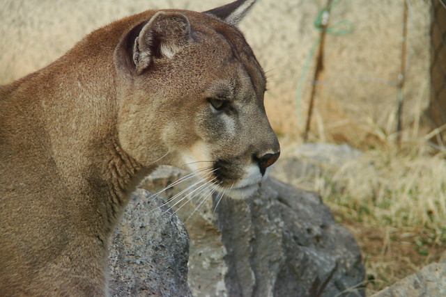 Are there Mountain Lions in Massachusetts?