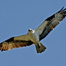 Osprey-in-flight- large by egdc211