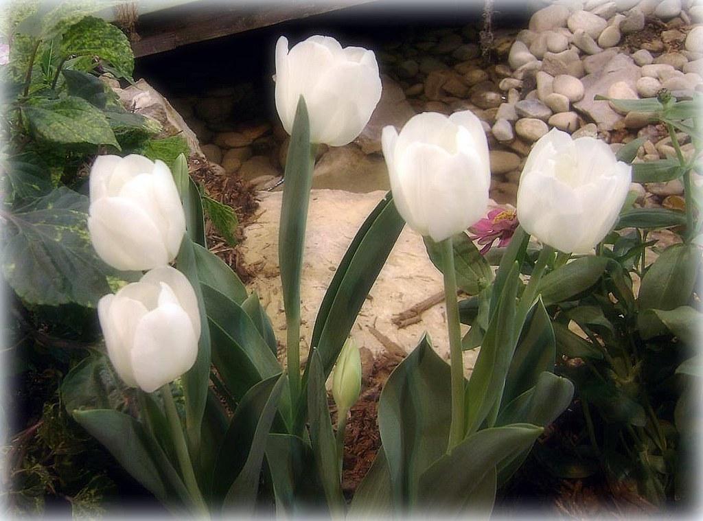 white tulips (2) -- 2-23-08