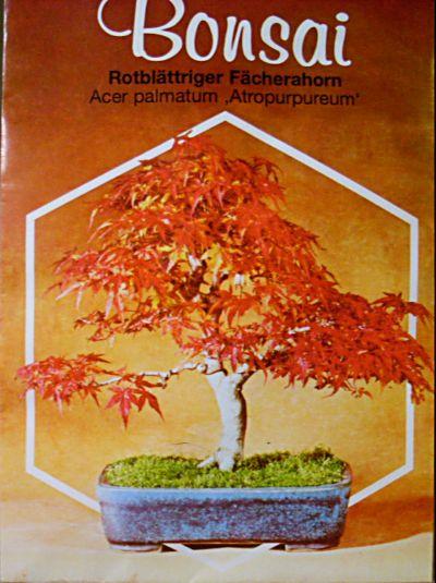 rotbl ttriger f cherahorn acer palmatum atropurpureum. Black Bedroom Furniture Sets. Home Design Ideas