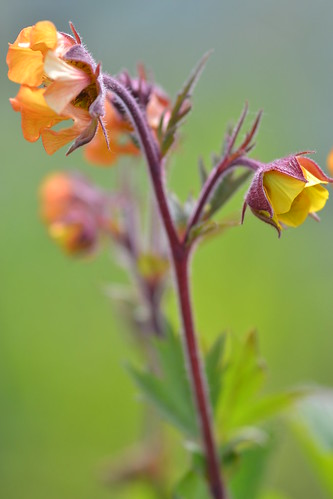 GEUM 'Blood Orange'