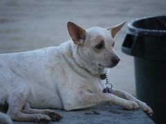 dog breed, animal, dog, white, pet, mammal, close-up, australian cattle dog,