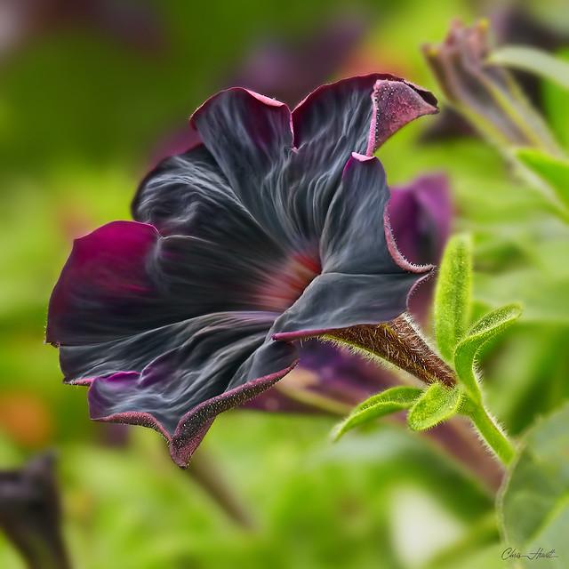 Black Velvet Petunia