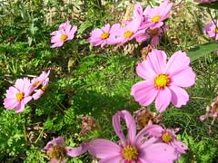 annual plant(1.0), flower(1.0), garden cosmos(1.0), plant(1.0), marguerite daisy(1.0), wildflower(1.0), flora(1.0), meadow(1.0), cosmos(1.0), petal(1.0),