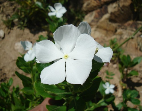 Nesecioto informacion sobre unas flores que se llaman for Santa teresita planta