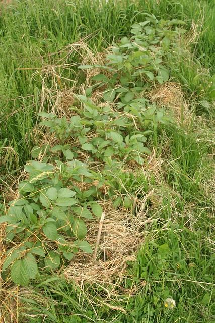 Patates sous la paille 3 flickr photo sharing - Pomme de terre sous paille ...