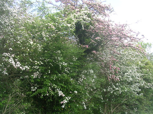 Pink and white hawthorn