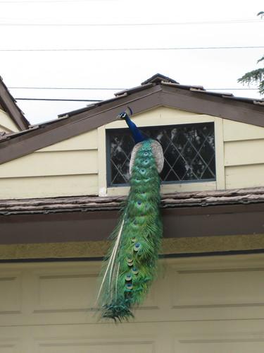 Peacock on garage