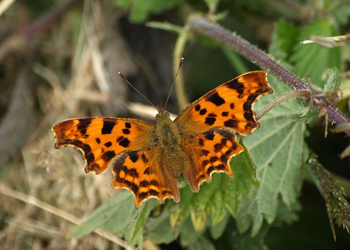 Comma - Polygonum c-album