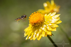 Hoverfly on Xerochrysum
