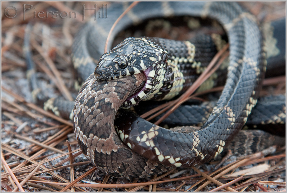 king snake vs rattlesnake - YouTube |King Snake Vs Rattlesnake