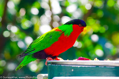 animal, lovebird, macaw, parrot, pet, green, fauna, parakeet, lorikeet, beak, bird,