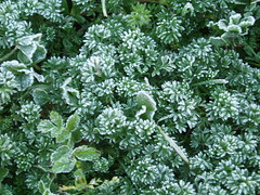 pennyroyal(0.0), apiales(0.0), flower(0.0), cicely(0.0), anthriscus(0.0), produce(0.0), annual plant(1.0), shrub(1.0), plant(1.0), subshrub(1.0), herb(1.0), groundcover(1.0),