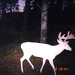Albino Whitetail Deer Big Al 'Ghost to the Darkness'