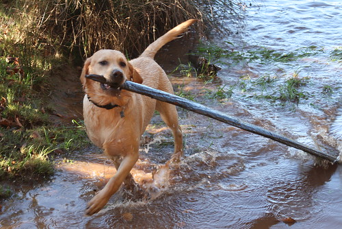 Labrador carrying a large stick in a stream