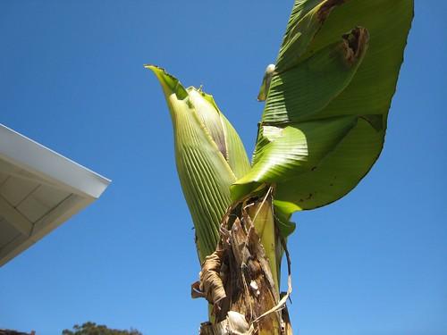 banana trees IMG_2374